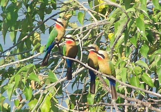 White-fronted bee eaters along the Okavango