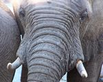 Elephant up close